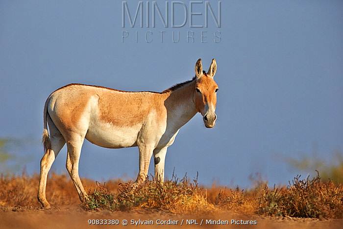 Indian wild ass (Equus hemionus khur) , Wild Ass Sanctuary, Little Rann of Kutch, Gujarat, India