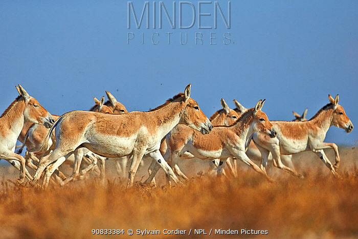 Indian wild asses (Equus hemionus khur) , Wild Ass Sanctuary, Little Rann of Kutch, Gujarat, India
