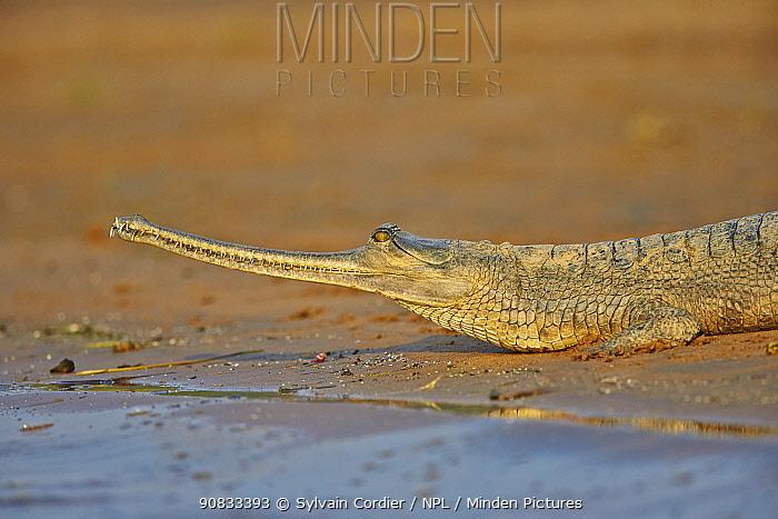 Gharial (Gavialis gangeticus), on the sand of the river, Chambal river, Uttar Pradesh, India