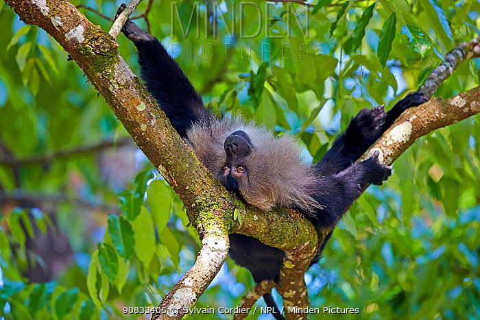 Lion-tailed macaque (Macaca silenus), dominant male, resting in a tree, Anaimalai Mountain Range (Nilgiri hills), Tamil Nadu, India