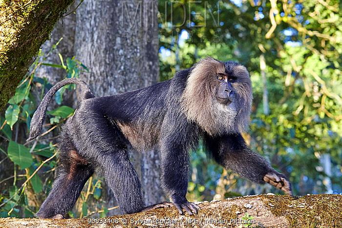 Lion-tailed macaque (Macaca silenus), dominant male, Anaimalai Mountain Range (Nilgiri hills), Tamil Nadu, India
