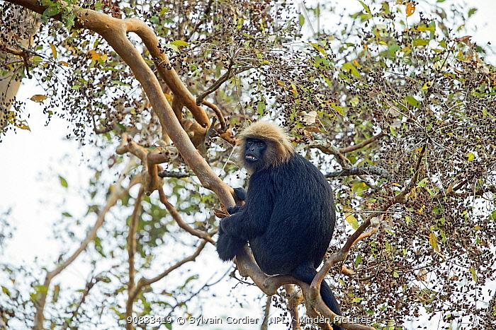 Nilgiri langur (Trachypithecus johnii) Anaimalai Mountain Range (Nilgiri hills), Tamil Nadu, India