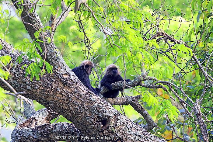 Nilgiri langurs (Trachypithecus johnii) in tree, Anaimalai Mountain Range (Nilgiri hills), Tamil Nadu, India