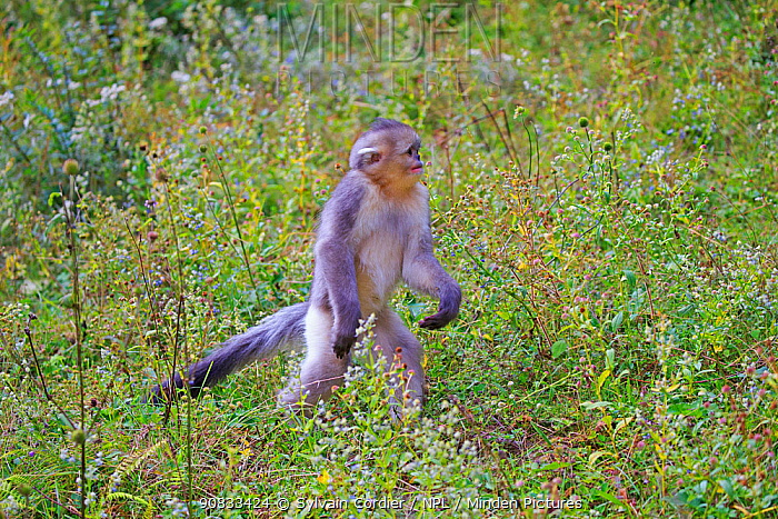 Yunnan snub-nosed monkey (Rhinopithecus bieti), juvenile walking on hind legs, Yunnan province, China