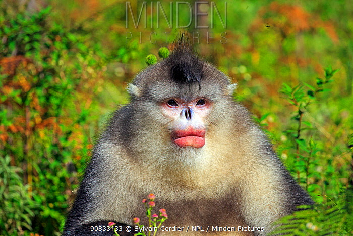 Yunnan snub-nosed monkey (Rhinopithecus bieti), adult male, Yunnan province, China