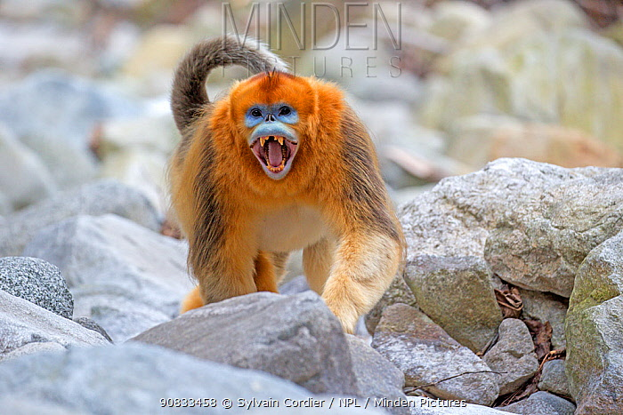 Golden snub-nosed monkey (Rhinopithecus roxellana) aggressive male, Qinling Mountains, Shaanxi province, China