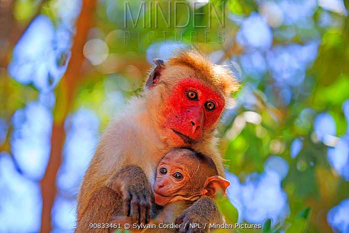 Toque macaque (Macaca sinica), mother and baby, Yala National Park, Sri Lanka