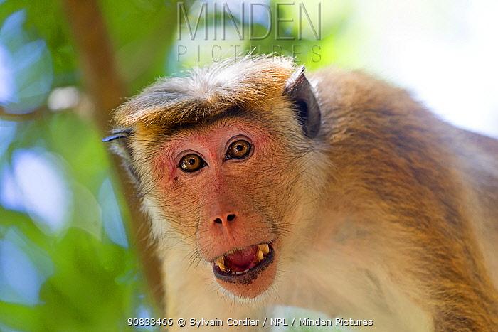 Toque macaque (Macaca sinica), adult male showing intimidation behaviour, Northwest Coast of Sri Lanka.