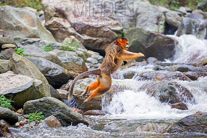 Golden snub-nosed monkey (Rhinopithecus roxellana), crossing a river, Qinling Mountains, Shaanxi province, China