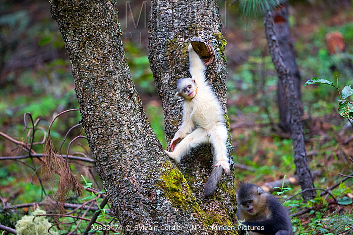 Yunnan snub-nosed monkey (Rhinopithecus bieti), young in a tree, Yunnan province, China