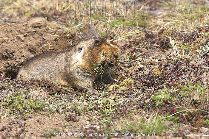 Giant molerat (Tachyoryctes macrocephalus) in burrow, Ethiopia.