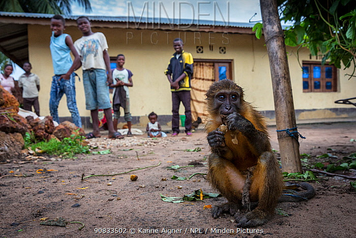 Golden bellied mangabey (Cercocebus chrysogaster) taken from the forest, kept as a pet by a family, Oshwe. Democratic Republic of Congo. May 2017.