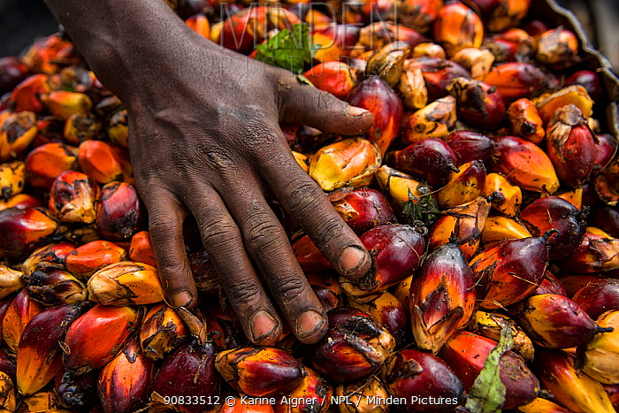 Woman with palm oil kernels (Elaeis guineensis) for local palm oil production. . Oshwe, Democratic Republic of Congo. May 2017.