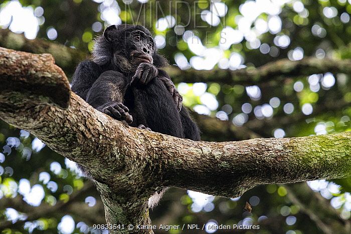 Bonobo (Pan paniscus) in tree, Mpelu group, Malebo, Democratic Republic of Congo