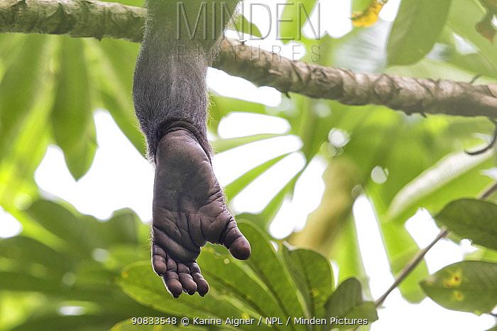 Bonobo (Pan paniscus) foot hanging down from tree, Democratic Republic of Congo
