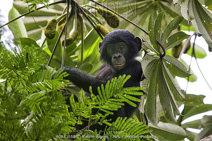 Bonobo (Pan paniscus) baby in tree, Democratic Republic of Congo