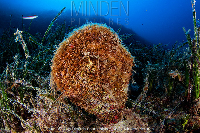 A noble pen shell (Pinna nobilis) at a depth of 35 meters. National Marine Park of Alonissos Northern Sporades, Greece