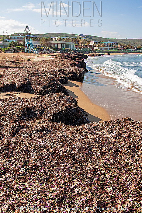 Dried mat of Neptune seagrass (Posidonia oceanica) leaves washed ashore. If left then they can protect the beach from erosion and the loss of important ecosystem services, Arina beach, Heraklion, Crete, Greece
