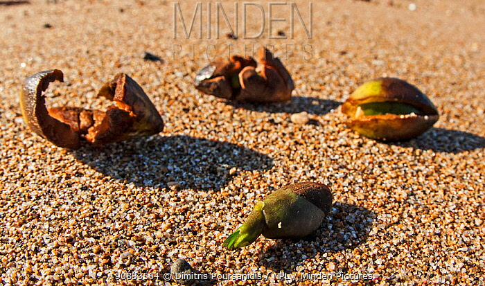 Neptune seagrass (Posidonia oceanica) fruits washed ashore after a storm. Gouves, Heraklion, Crete, Greece