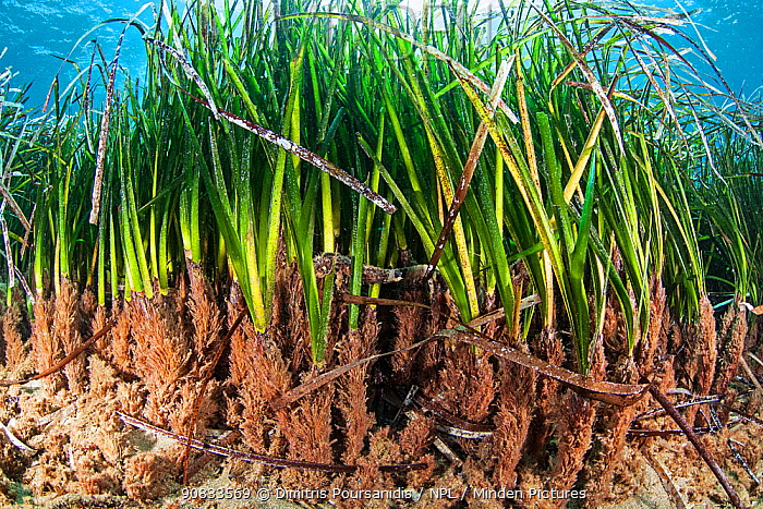 Close up of the understory of a seagrass meadow, Agia Pelagia, Heraklion, Crete, Greece