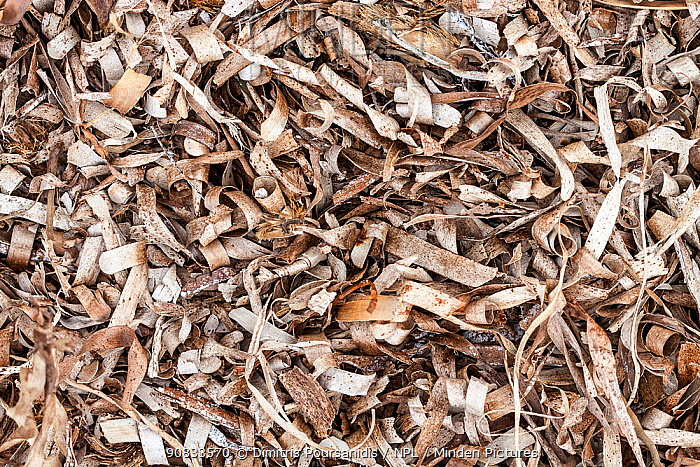 Mat of dried Neptune seagrass (Posidonia oceanica) leaves, washed ashore, Greece
