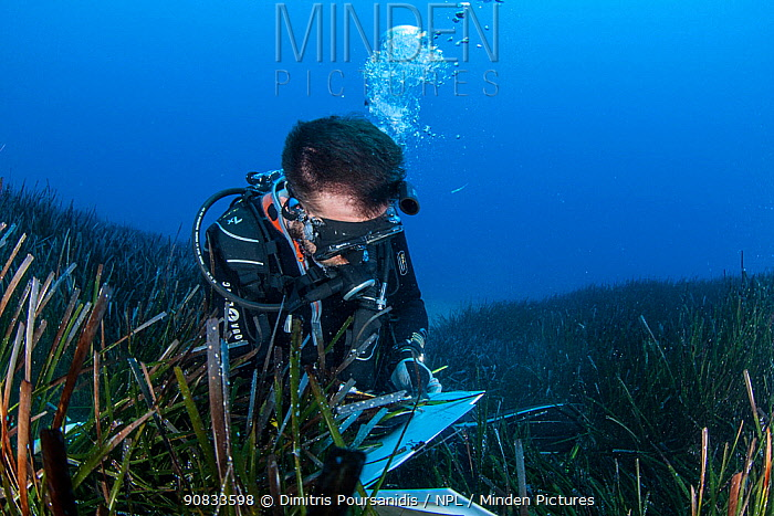 A researcher collects data from the seagrass meadows (Posidonia oceanica) in the Samaria National Park, Chania, Crete. The continous monitoring of the ecological status of the seagrass meadows is an inherent part of the conservation activities within the Protected Area.