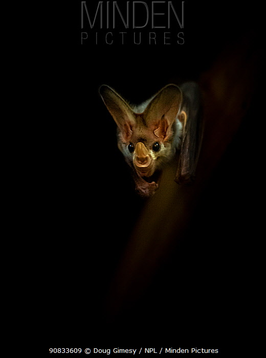 Portrait of a Ghost bat (Macroderma gigas) with dark background, captive, Adelaide Zoo, Australia.