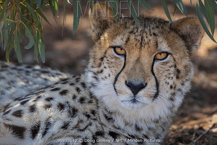 Portrait of a cheetah (Acinonyx jubatus) under a tree. captive at Monarto Safari Park, South Australia.