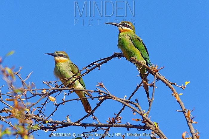 Olive bee-eater (Merops superciliosus) Ankarafantsika National Park, Madagascar.