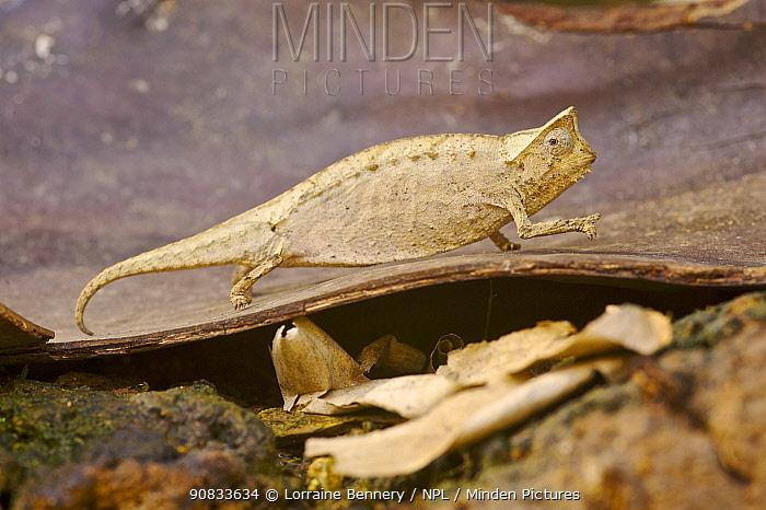 Brygoo's chameleon, / Leaf chameleon (Brookesia brygooi) tiny endemic chameleon. Madagascar.