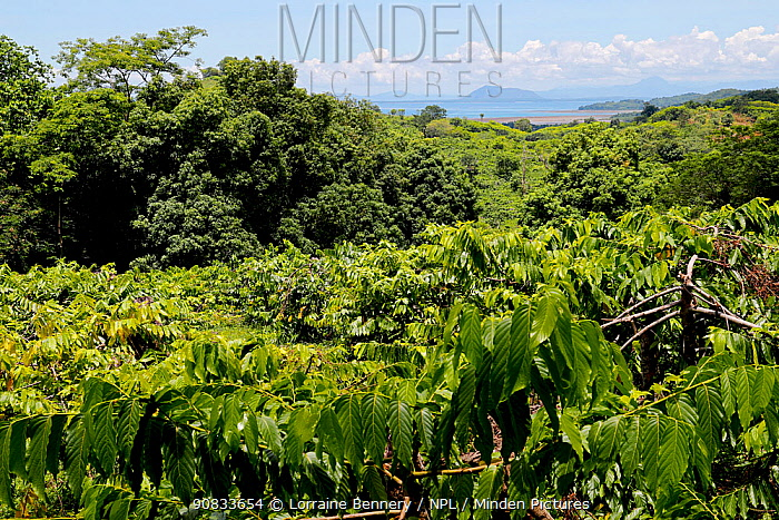 Ylang-Ylang crops (the flower of flowers), Nosy Be Island, Madagascar.