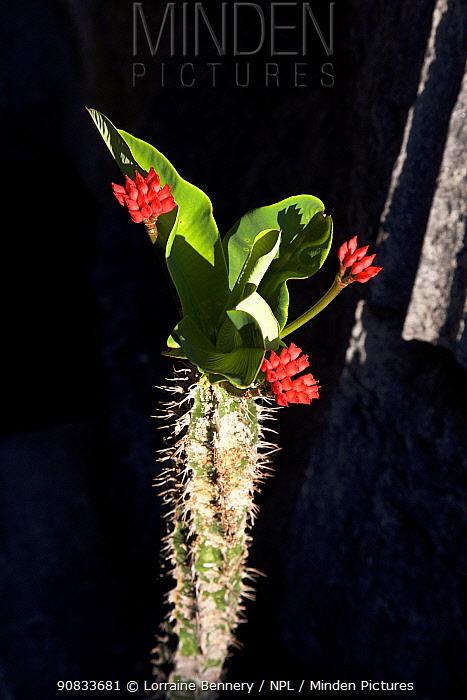 Viguier's spurge (Euphorbia viguieri) Tsingy Bemaraha National Park, Madagascar.