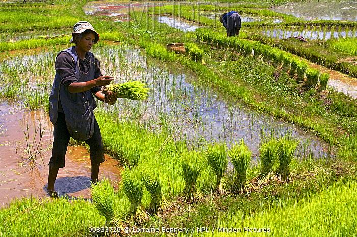 Person planting rice, Madagascar. December 2009.