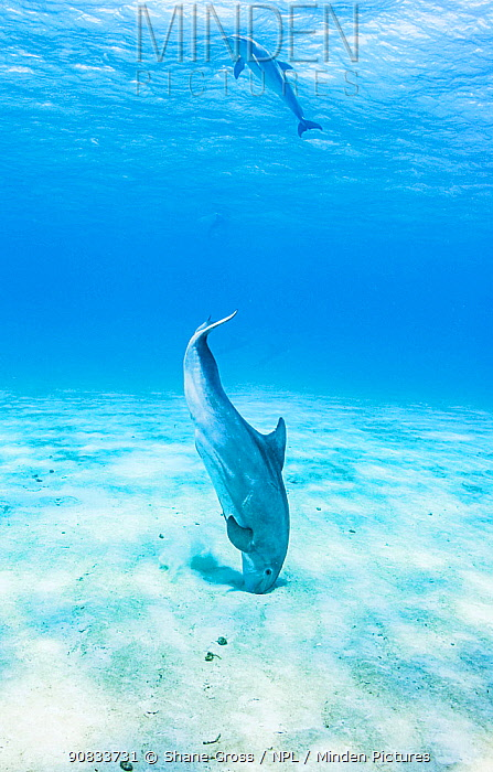 Bottlenose dolphin (Tursiops truncatus) use echo-location to find prey hiding just under the sand, Eleuthera, Bahamas.