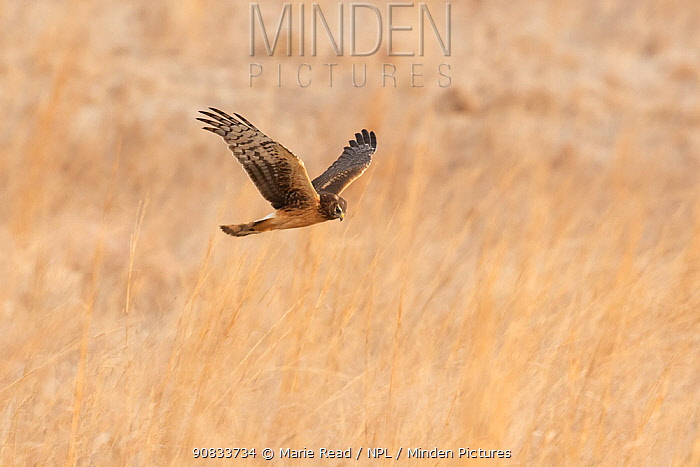 Northern Harrier (Circus cyaneus) female in flight over field in winter, Ulster County, New York, USA