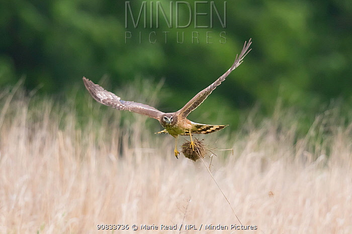 Northern Harrier (Circus cyaneus) female in flight carrying a clump of nest material, near Ithaca, New York, USA