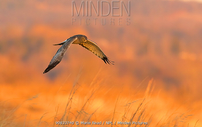 Northern Harrier (Circus cyaneus) male in flight over field at sunset in winter, Ulster County, New York, USA