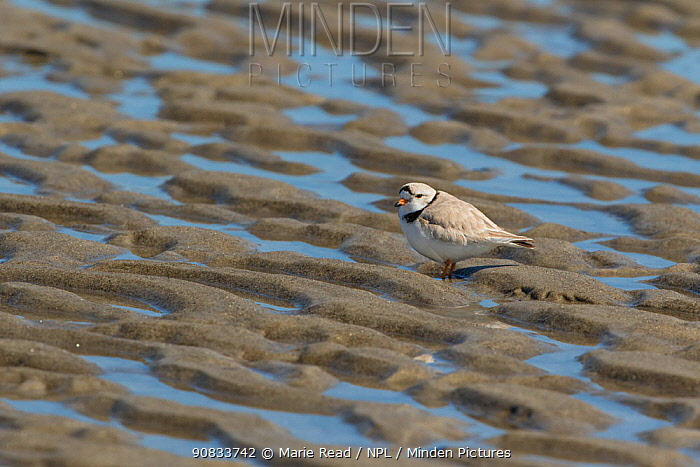 Piping Plover (Charadrius melodus) with pattern of sand and water on a beach, Ipswich, Massachusetts, USA.