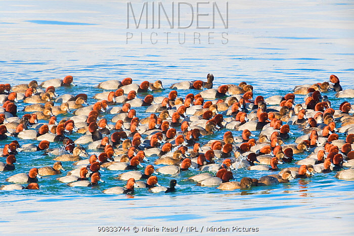Large flock / raft of Redhead (Aythya americana) duck on water, with Single Scaup male (Aythya sp.) in foreground. Cayuga Lake, Aurora, New York, USA