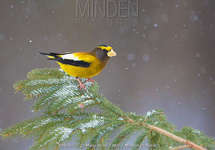 Evening Grosbeak (Coccothraustes vespertinus) male perched on spruce branch with falling snow, in winter, New York, USA