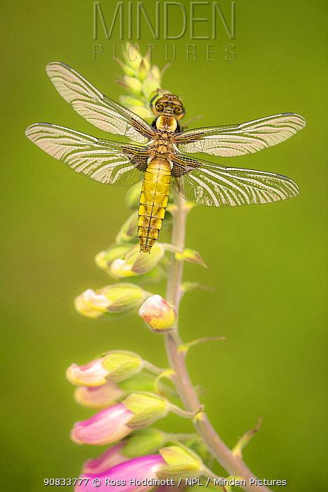 Broad-bodied chaser dragonfly (Libellula depressa) juvenile resting on foxglove (Digitalis purpurea), Broxwater, Cornwall, UK. June.