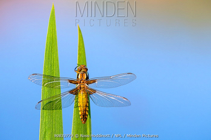 Broad bodied chaser dragonfly (Libellula depressa) recently emerged, resting on reeds, Broxwater, Cornwall, UK. April.