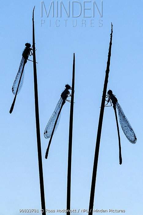 Three common blue damselflies (Enallagma cyathigerum) roosting on sedge and silhouetted at dawn, Broxwater, Cornwall, UK. July.