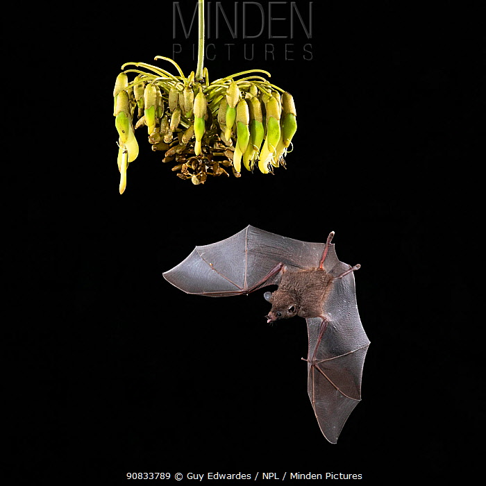 Pallas's long-tongued Bat (Glossophaga soricina) feeding on Ox-eye vine (Mucuna spp.), lowland rainforest, Costa Rica. November.
