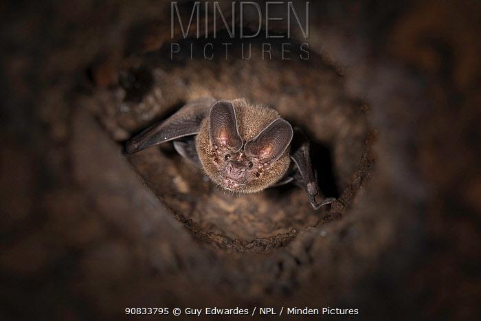 Pygmy round-eared bat (Lophostoma brasiliense) roosting inside termite nest, Costa Rica. November.