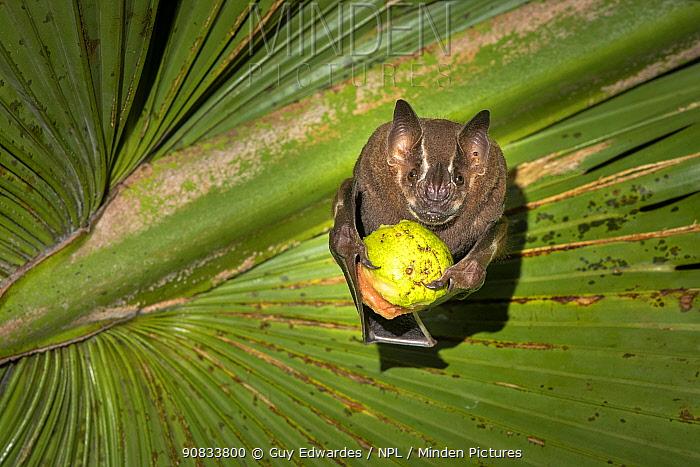 Brown tent-making bat (Uroderma magnirostrum) feeding on fruit under a palm leaf, lowland rainforest, Costa Rica. November.