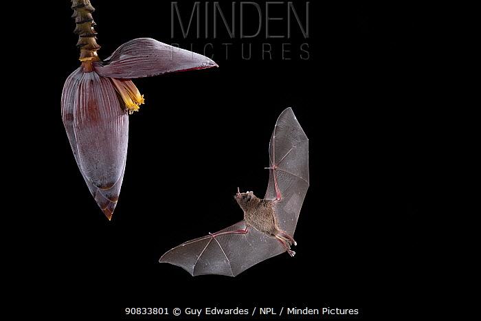 Pallas's long-tongued Bat (Glossophaga soricina) feeding from banana flower, lowland rainforest, Costa Rica. November.