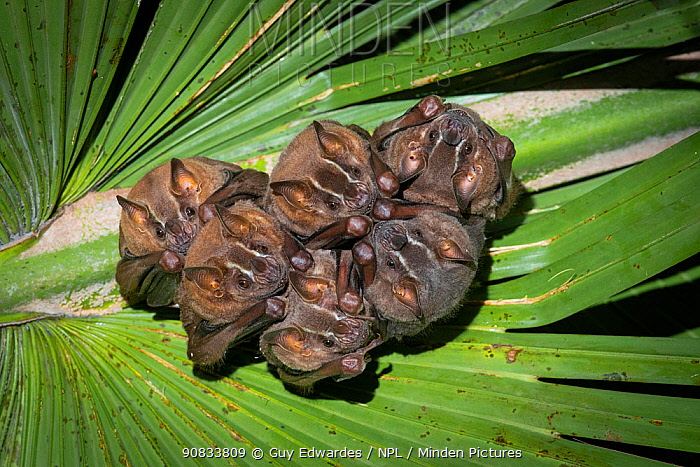 Brown tent-making bats (Uroderma magnirostrum) roosting under a palm leaf, lowland rainforest, Costa Rica. November.