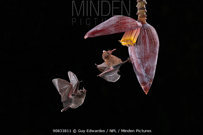 Two Pallas's long-tongued bats (Glossophaga soricina) feeding from banana flower, lowland rainforest, Costa Rica. November.