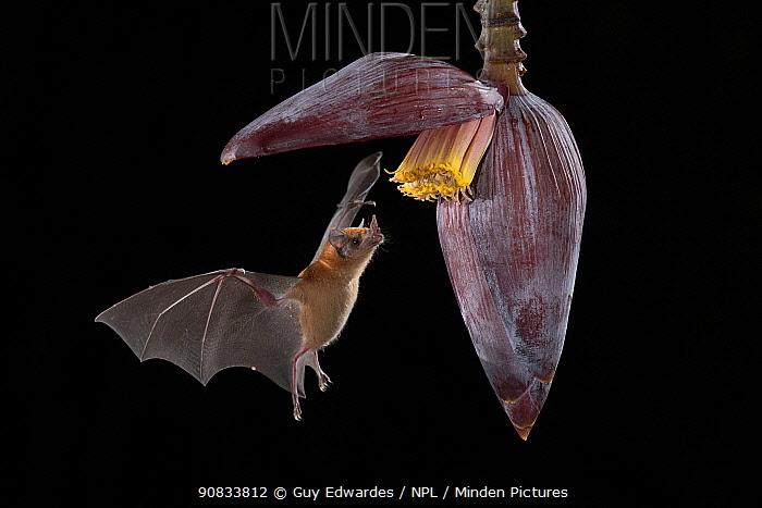 Orange nectar bat (Lonchophylla robusta) feeding on a banana flower, lowland rainforest, Costa Rica. November.